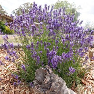 Diamond Valley Violets & Lavender Nursery